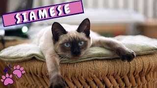 Why Siamese Cats Should Be Part Of Your Life | Siamese Personality And Behavior | Cats 101