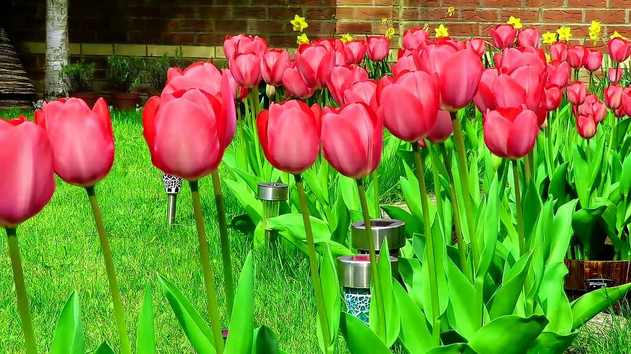 How To Grow Beautiful Tulip Flowers In Your Garden, Like A