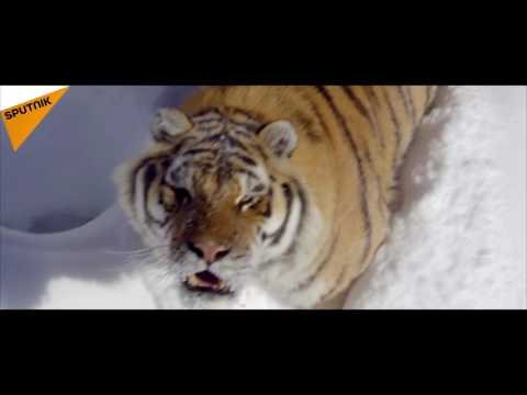 Drone Lets Us Get Up Close and Personal With Wild Tigers