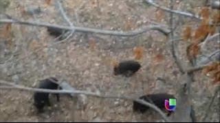 Fomentan en California la cacería de cerdos salvajes