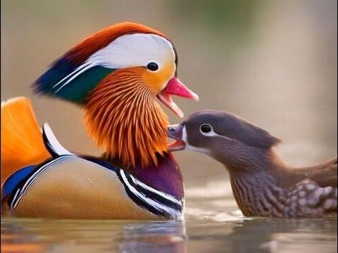 Породы уток / Самые красивые фото.
