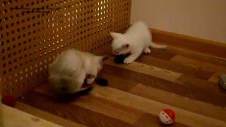 Улётное видео! Как тайские котята играли игрушечными мышками! Тайские кошки - это чудо! Funny Cats