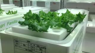 低カリウム野菜なレタス「グリーンスパン」葉肉が厚く食味性に優れる、カリウム制限の貴方に
