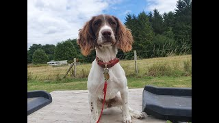 Tiggy the Springer Spaniel - 2 Weeks Residential Dog Training