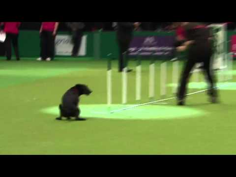 Dog show fail: Crufts pooch has an 'accident' in the arena