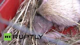 Russia: Albino African hedgehog triplets born in captivity