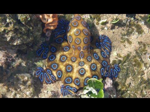 Pilbara Inhabitants - BLUE RINGED OCTOPUS