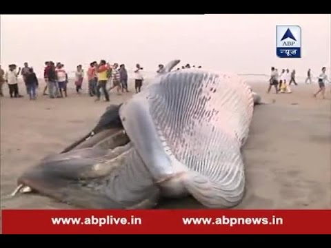 A 30-foot dead whale washed up on the Juhu beach in Mumbai