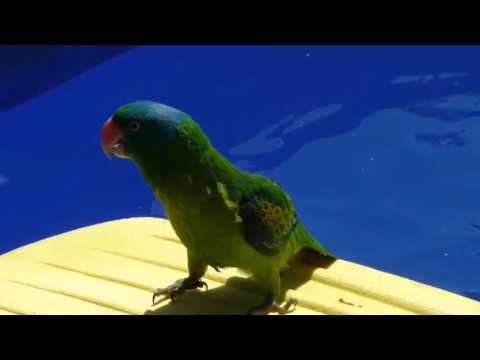 beautiful photo of a parrot Tanygnathus
