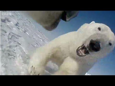 ホッキョクグマの目に映る世界 首にGPSカメラ