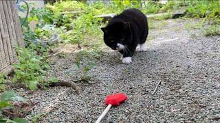 子熊のような猫がぽてぽて歩きでおもちゃを追いかける。
