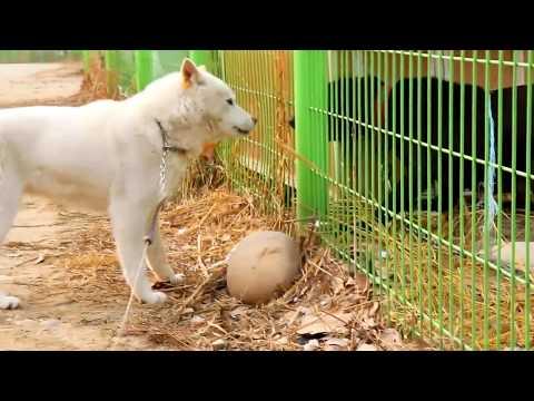 진돗개 VS 핏불테리어_Jindo Dog VS Pit Bull Terrier