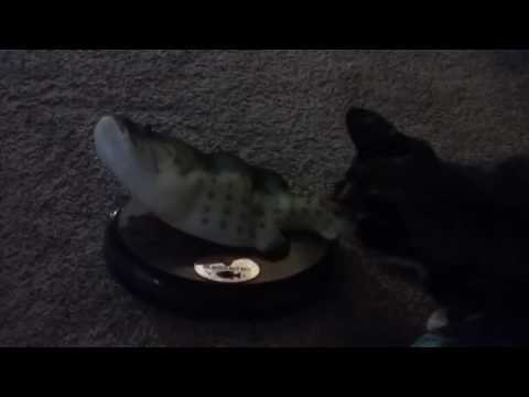 Cat attacks singing fish