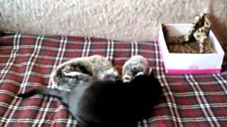 Кошка охотится на меховой воротник)