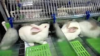 СВК-АГРО Брянские кролики (САМЦЫ-ПРОИЗВОДИТЕЛИ)