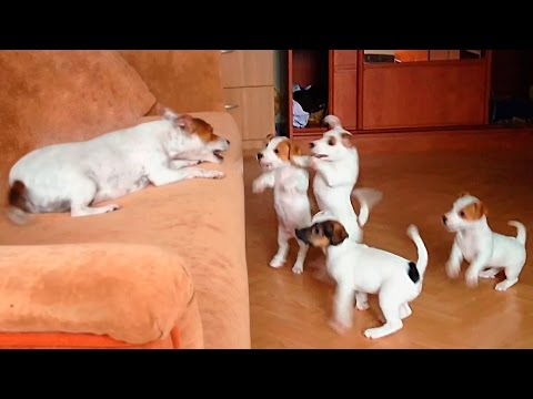 Crazy Jack Russell Terrier with Her Funny Puppies