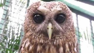 Tickling a Pygmy Owl