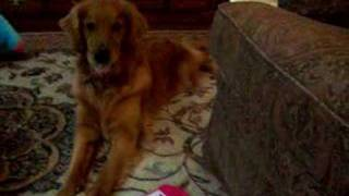 annie the golden retriever dog plays piano and bell sings