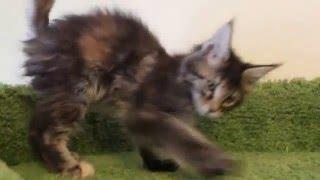 Котёнок мейн-кун кошечка HELENA HOUSE Vanessa, возраст 10 недель