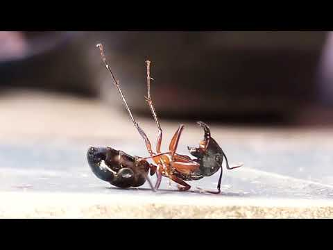 A dying Ant 🐜 4k super micro zoom by SAMSUNG J7MAX