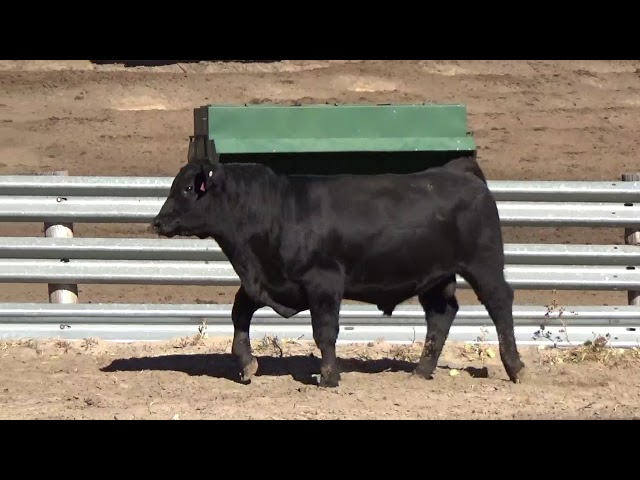 Connealy Angus Lot 59
