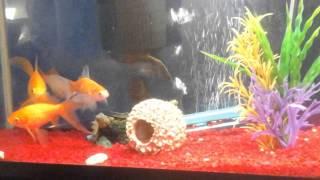 ,CША.Мой аквариум,, золотые рыбки и сомики,,
