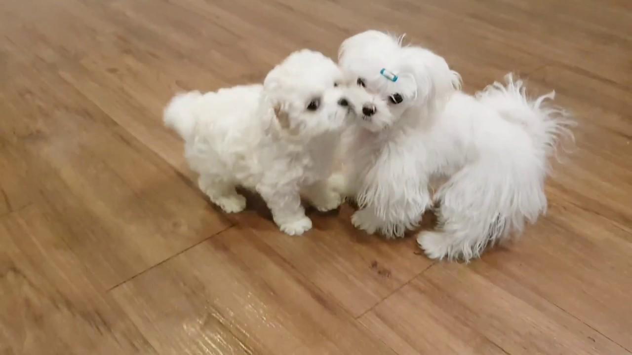 lovely puppy mini bichon frise videos - Teacup puppies
