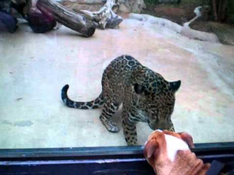 Jaguar San Antonio >> Jaguar Antics At The San Antonio Zoo With Parker Youtube