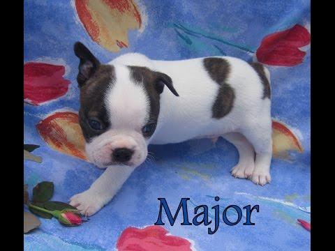 Major - Male - Boston Terrier Puppy