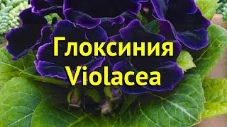 глоксиния гибридная Виолацея. Краткий обзор, описание характеристик, где купить луковицы Violacea