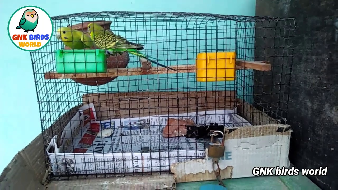 Why male budgies mating with female during the chicks inside the pot/ this is any problem/தமிழ்