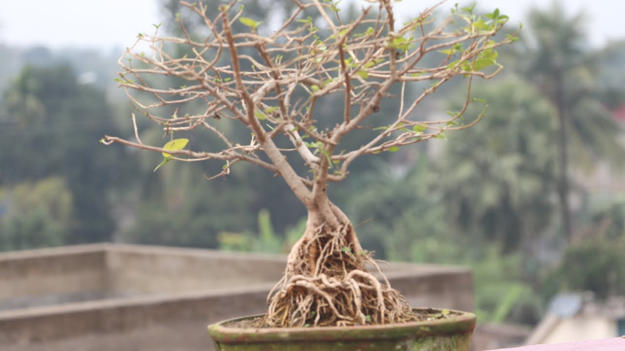 Premna Microphylla Exposed Root Bonsai How To Make Youtube