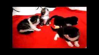 23 day old Exotic Shorthair kittens