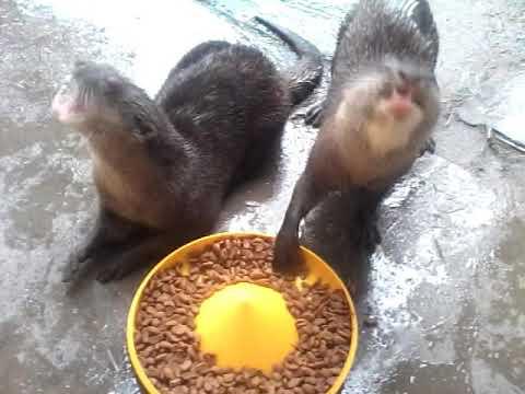 Makanan dan cara makan Berang Berang ( otter )