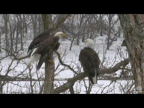 Aquila nel nido con la neve - video in Diretta!