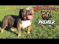 AMERICAN BULLY STUD FROM THE WORLD FAMOUS KILLINOIS KENNELS, PUPPIES AVAILABLE NOW !!!!!!!