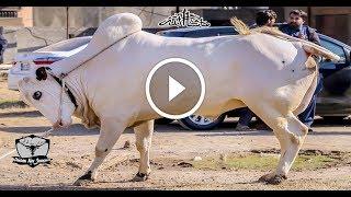 Ladla Of The Year || MASHALLAH || From Mani Cattle,Qurbani Bull of Guddu Bhai..|| Home Qurbani ||