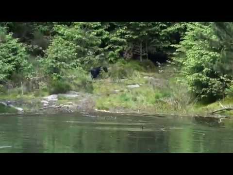 Gundog Training Labrador on water Isle of Man