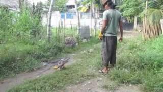 Fitness Exercise for Brahminy Kite