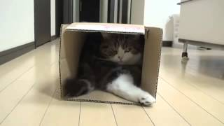 Meraklı kedi kutuyu karıştırıyor