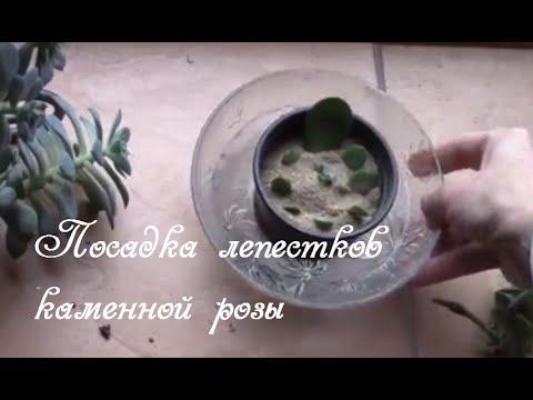 Каменная роза или эхеверия.  Размножение.