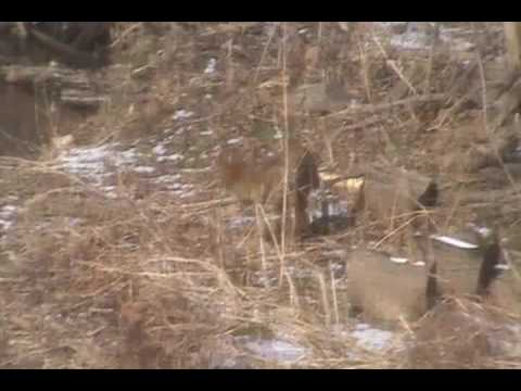 Coyote roaming in suburban Louisville, Ky.wmv