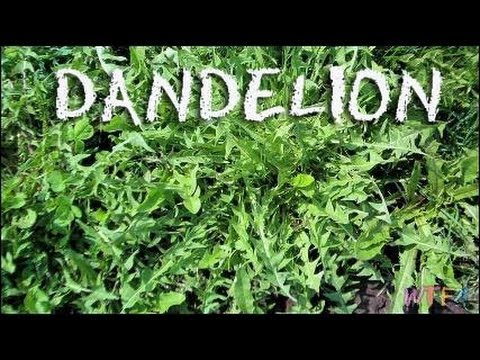 What is Dandelion? / Dandelion and Watermelon Salad Recipe