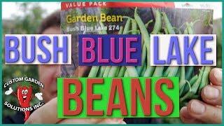 Bush Blue Lake Beans - How To Grow