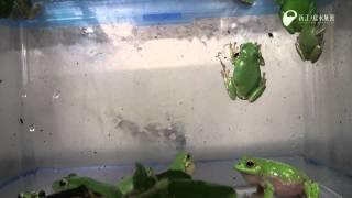 カエルの歌が聞こえてくるよ - Singing voice of the frog