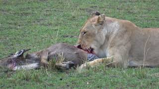 Best of Kenya Wildlife Photo Safari - Day 7 - September 3, 2017 - Masai Mara