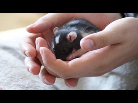 Как приручить крысу?  Почему пищат крысы?