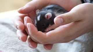 Как приручить крысу? Едят ли крысы йогурт?