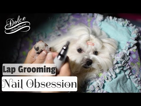 GROOMING:  Maltese Dog Nail Trimming - Nail Filing w/Electric Nail Grinder - LAP GROOMING 말티즈미용