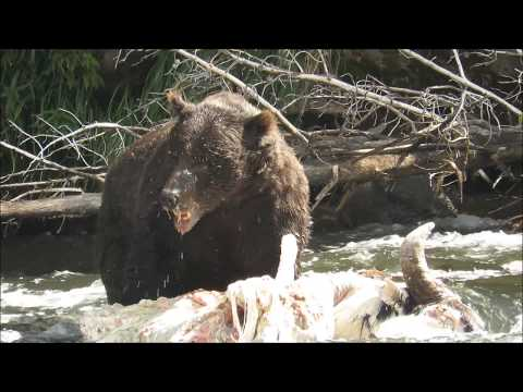 Huge Yellowstone Grizzly Bear on Buffalo Carcass